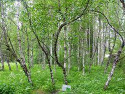 Karelskaya-bereza
